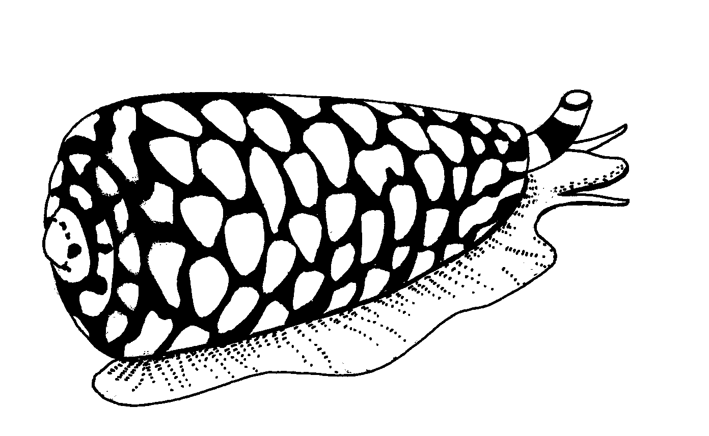 Cone Snail Coloring Page | Coloring Pages